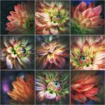 Dahlia-collage by Rob1962