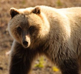 Grizzly Eye by JWFisher