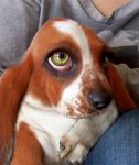 Cute little basset hound by PigParadise