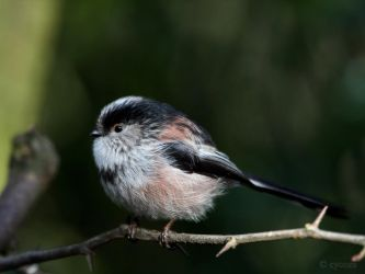 Long Tailed Tit Wallpaper by cycoze