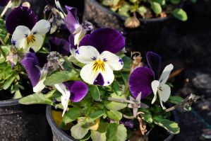 viola small violet-white by marlene-stock