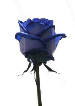 Blue Rose Stock by eyedesign