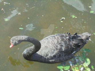 Black Swan by blackroselover