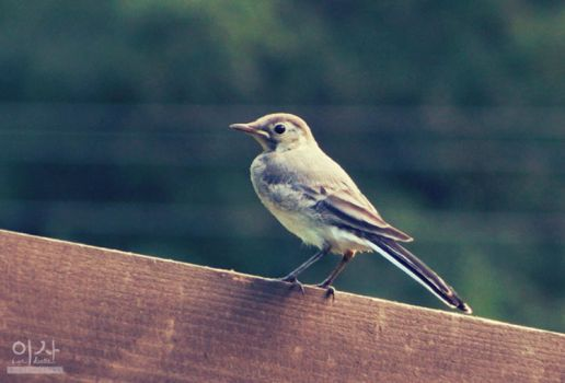 Mountain Wagtail by IsabellaBLK