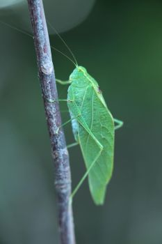 Leaf bug by the Delaware River by dallasgutauckis