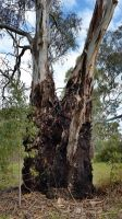 Old Gum Tree 6 by LuchareStock