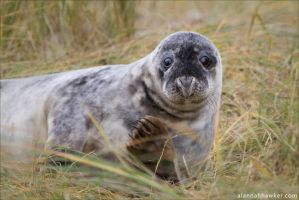 Seal 1 by Alannah-Hawker