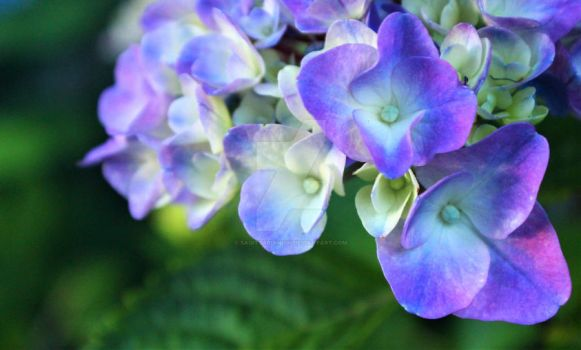 Light Blue-Purple Hydrangea by Sagittarianism
