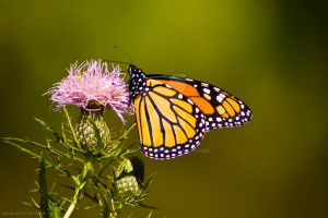 Monarch Butterfly by dworld