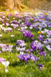 crocuses by stupidduck