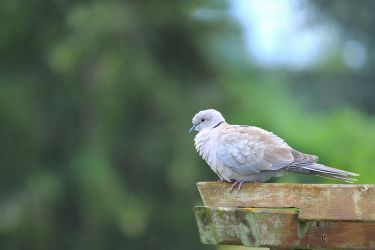Eurasian collared dove by sourpepper