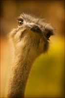 Ostrich by waiaung
