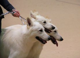 White Shepherds by IndianSummers