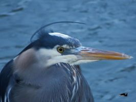 Windy Heron Against Water by wolfwings1