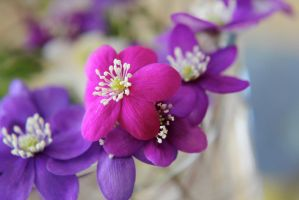 Cerise anemone by reaktionista