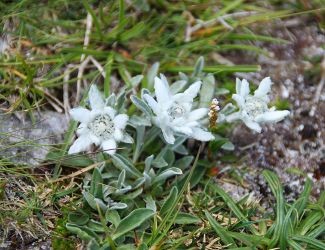 Edelweiss by AgiVega