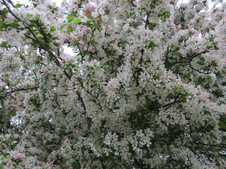 1057 Blossom 01 by Tigers-stock