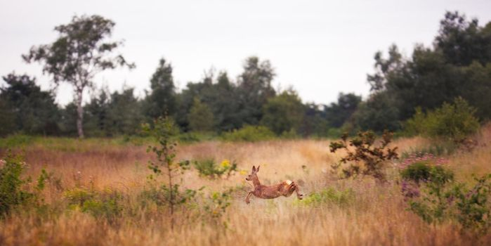 Roe Deer Scarpering by Mark-Fisher-Photos