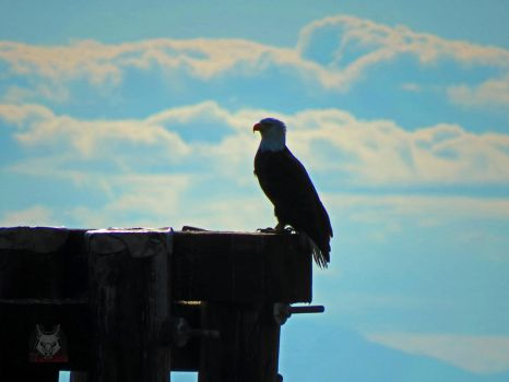 Eagle With Head In Clouds by wolfwings1