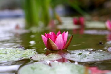 water lily 1 by Altrial