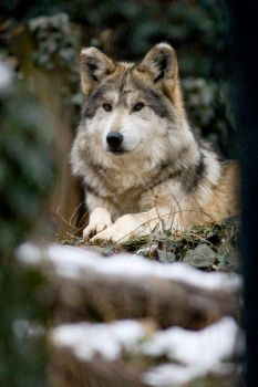 Mexican Wolf 10 by Art-Photo