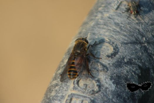 Unknown species of horse fly by coldstares
