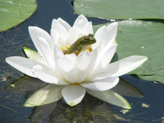 Frog in the Lily by RobMitchem