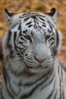 0348 - White tiger by Jay-Co