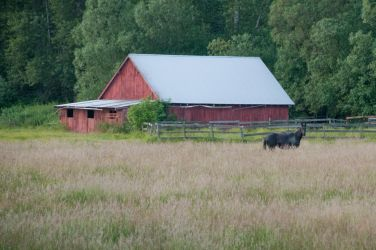 Horse in a Field with Barn in Background by happeningstock