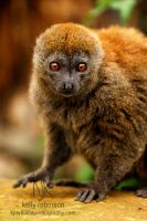 Lac Alaotra Gentle Lemur by Shadow-and-Flame-86