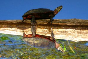 Mirrored Turtle by sugarcoat