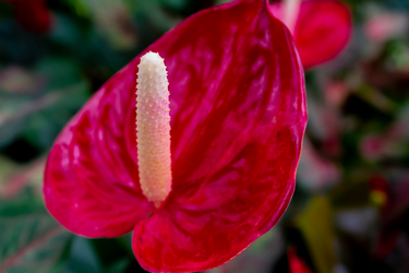 Red Rocket Flamingo Flower by AaronMk
