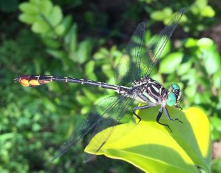 PICTO-Dragonfly Close-Up by rosa-pegasus