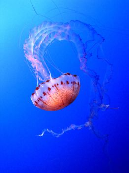 Purple-Striped Jellyfish by magneticjade