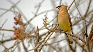 The masked Cedar Waxwing by MichelLalonde