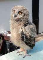 Young Great Horned Owl in Fairbourne by rlkitterman