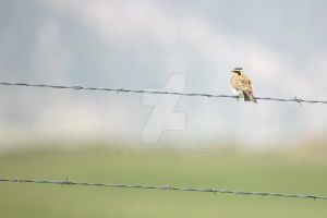 Meadowlark Hangin Out by Nestor2k
