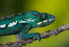 Nosy Be chameleon by AngiWallace