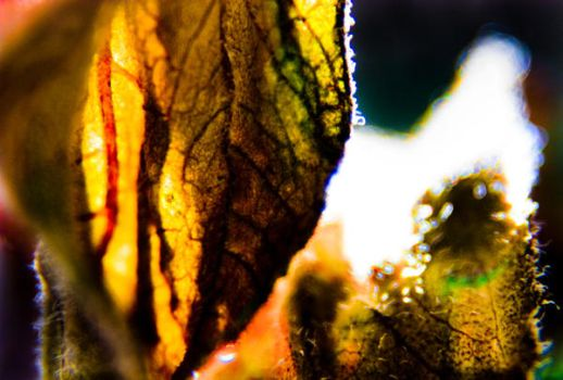 COLOR X-Ray of a leave by etereal