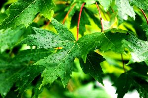 Rain on Leaves 2 by clausch99