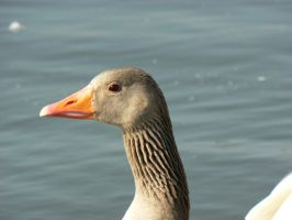 Goose head stock by e-s-d