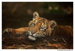 Baby Tiger: Model II by TVD-Photography