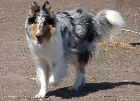 Blue Merle Rough Coat Collie by FantasyStock