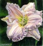 Daylily by Carol-Moore