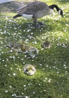 Goslings by puimun