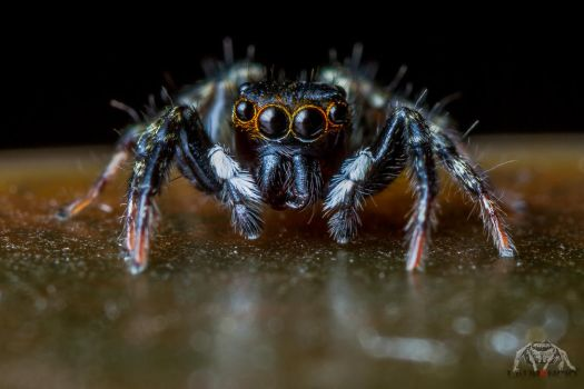 Hypnotist Jumping Spider by Anrico