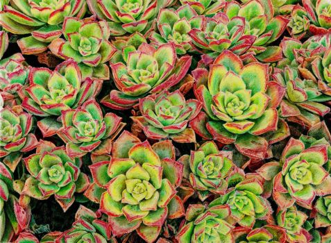 Succulent cluster by KingVahagn