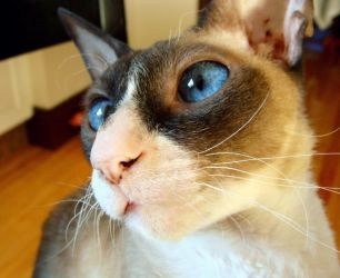 Kitty's blue eyes by tilyd