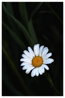 Daisy In The Grass by aquapell