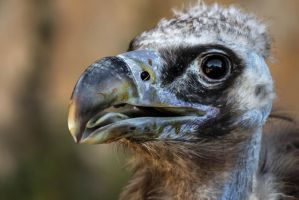 Cinereous vulture (Aegypius monachus) by paschlewwer